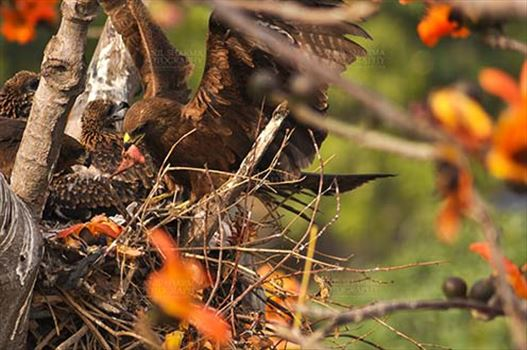 Birds-  Black Kite Milvus migrans (Boddaert) - Mom Black Kite with raw meat for hungry chicks.