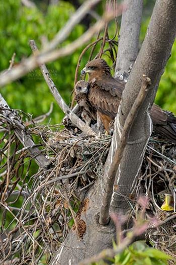 "Birds-  Black Kite Milvus migrans (Boddaert) - ""My Mom is the Best""- Black Kite chick."