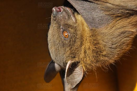 Wildlife- Indian Fruit Bat (Petrous giganteus) - The Indian flying fox or the greater Indian fruit bat is a species of flying fox in the Pteropodidae family. They lick nectar from flowers and eat ripe fruits and expel waste that pollinates and disperse seeds.