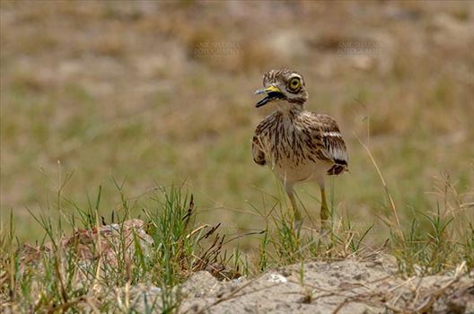 Eurasian stone curlew or stone-curlew (Burhinus oedicnemus) at Noida, Uttar Pradesh, India- June 18, 2017: A Female Eurasian stone guarding her nest at Noida, Uttar Pradesh, India.