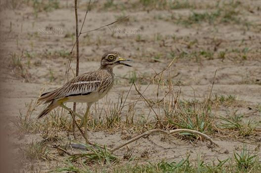 Eurasian stone curlew or stone-curlew (Burhinus oedicnemus) at Noida, Uttar Pradesh, India- June 18, 2017: A Female Eurasian stone standing on one leg guarding her nest at Noida, Uttar Pradesh, India.