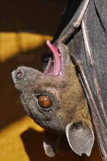 Indian Fruit Bats (Pteropus giganteus) Noida, Uttar Pradesh, India- January 19, 2017: Close-up of an Indian fruit bat hanging upside down, open mouth showing tongue at Noida, Uttar Pradesh, India.