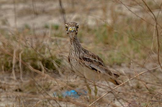 Eurasian stone curlew or stone-curlew (Burhinus oedicnemus) at Noida, Uttar Pradesh, India- June 18, 2017: Alert Female Eurasian stone in the dry grass land keeping an eye on the enemy at Noida, Uttar Pradesh, India.