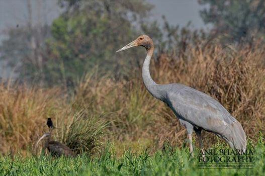 Birds- Sarus Crane (Grus Antigone) - Young Sarus Crane, Grus Antigone (Linnaeus) in an agricultural field at Dhanauri wetland, Greater Noida, Uttar Pradesh, India.