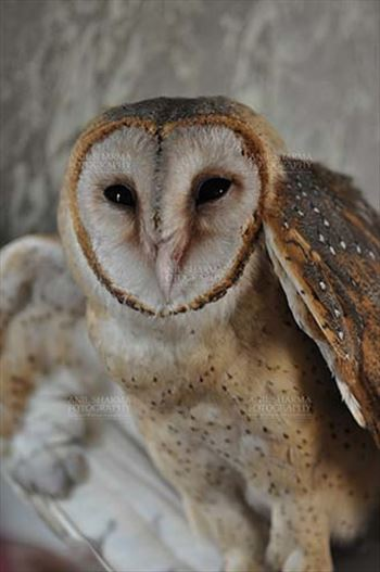 Barn Owl Tyto Alba (Scopoli) showing eyes and beak, Noida, Uttar Pradesh, India.
