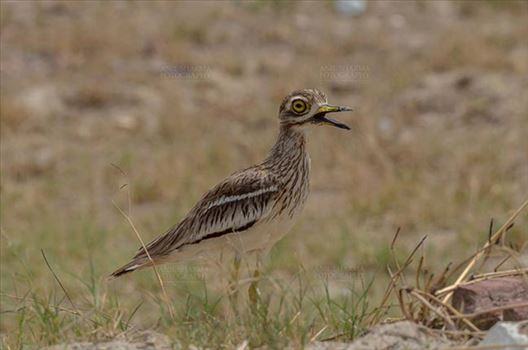 Birds- Eurasian Stone Curlew (Burhinus oedicnemus) - Eurasian stone curlew or stone-curlew (Burhinus oedicnemus) at Noida, Uttar Pradesh, India- June 18, 2017: A Female Eurasian stone looking Left side standing in a field at Noida, Uttar Pradesh, India.