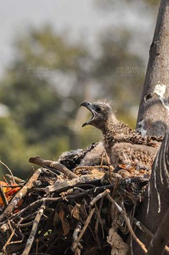 Birds-  Black Kite Milvus migrans (Boddaert) - Hey Mom Where are you? Hungry Black Kite chick calling Mom.