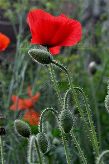 Flowers- Poppy Flowers (Papaver oideae) - Beautiful Red Color Poppy (Papaver oideae) Flower and Greenish buds with green color background in a  small garden at Noida, Uttar Pradesh, India.