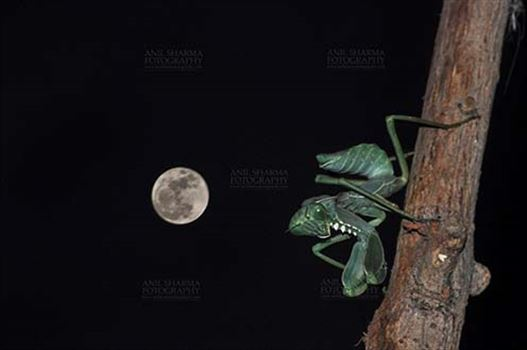 Insect- Praying Mantis - Side view of a Praying Mantis,  Mantodea (or mantises, mantes) in resting position in full moon night  on a tree branch in garden at Noida, Uttar Pradesh, India
