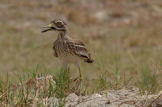 Eurasian stone curlew or stone-curlew (Burhinus oedicnemus) at Noida, Uttar Pradesh, India- June 18, 2017: A Female Eurasian stone in the dry grass field at Noida, Uttar Pradesh, India.