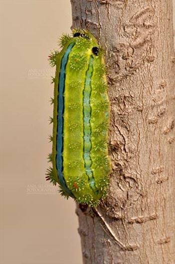 Insects- Caterpillar - Noida, Uttar Pradesh, India- December 29, 2013: A Green-blue color Caterpillar on a tree branch in a garden at Noida, Uttar Pradesh, India.