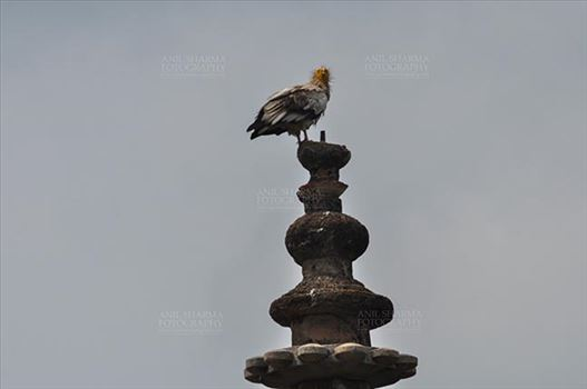 Orchha, Madhya Pradesh, India- August 20, 2012: an Egyptian Vulture (Neophron Perchopterus) perches on the roof of the sandstone Jahangir Mahal (Palace) at Orchha, Madhya Pradesh, India.