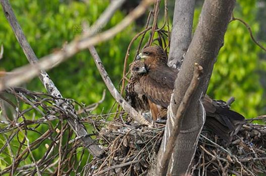 """My Mom is the Best""- Black Kite chick."