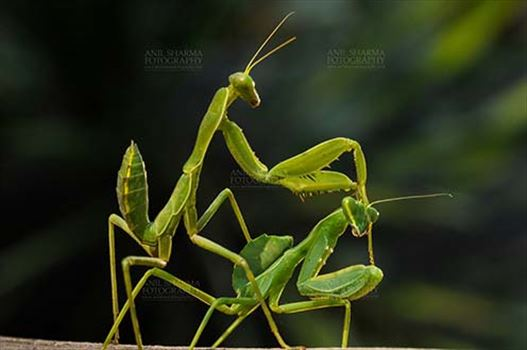 Insects- Praying Mantis - Mantises is an order of insects that contains over 2,400 species worldwide have two grasping, spiked forelegs in which prey items are caught and held securely.