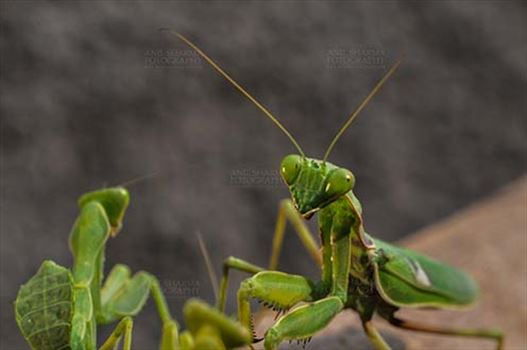 Insect- Praying Mantis - Close-up of head of a Praying  Mantis, Mantodea (or mantises, mantes) in a garden at Noida, Uttar Pradesh, India