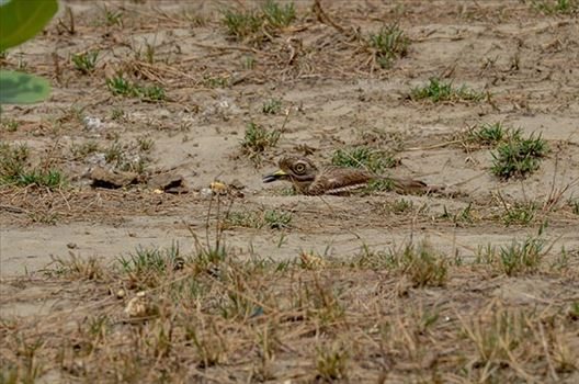 Eurasian stone curlew or stone-curlew (Burhinus oedicnemus) at Noida, Uttar Pradesh, India- June 18, 2017: A Female Eurasian stone hideing herself, sitting on the ground at Noida, Uttar Pradesh, India.