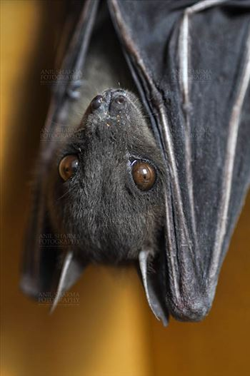 Indian Fruit Bats (Pteropus giganteus) Noida, Uttar Pradesh, India- January 19, 2017: Indian fruit bat photographed in a captive situation in its typical roosting grooming poses while hanging upside down from a limb at Noida, Uttar Pradesh, India.