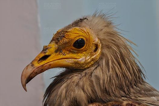 Birds- Egyptian Vulture (Neophron percnopterus) - Egyptian vulture, Aligarh, Uttar Pradesh, India- January 21, 2017:  Close-up of an adult Egyptian Vulturewith blue background at Aligarh, Uttar Pradesh, India.