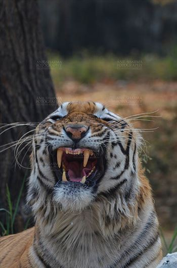 Royal Bengal Tiger, New Delhi, India- April 5, 2018: Portrait of A Royal Bengal Tiger (Panthera tigris Tigris) in furious mood showing its canines at New Delhi, India.