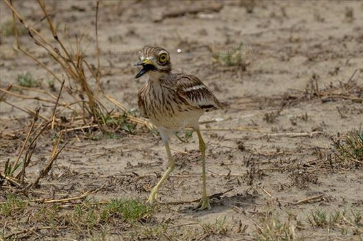 Birds- Eurasian Stone Curlew (Burhinus oedicnemus) - Eurasian stone curlew or stone-curlew (Burhinus oedicnemus) at Noida, Uttar Pradesh, India- June 18, 2017: A Female Eurasian stone walking in the dry grass land at Noida, Uttar Pradesh, India.