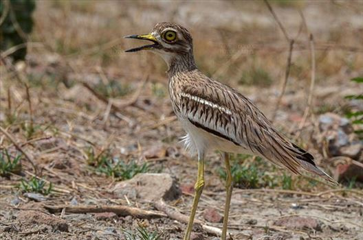 Eurasian stone curlew or stone-curlew (Burhinus oedicnemus) at Noida, Uttar Pradesh, India- June 18, 2017: A Female Eurasian stone standing in a field guarding her nest at Noida, Uttar Pradesh, India.