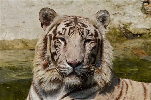 White Tiger, New Delhi, India- April 8, 2018: Portrait of a White Tiger (Panthera tigris) at New Delhi, India.
