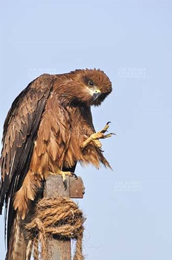 "Birds-  Black Kite Milvus migrans (Boddaert) - ""Thousand Salutes to all Nature Lovers""- Papa Black Kite"
