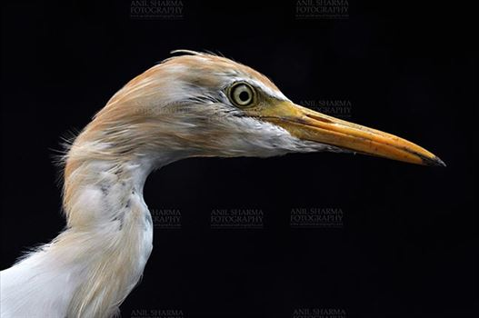 Noida, India- September 25, 2013: Cattle Egret (Bubulcus ibis) close-up of head during breeding season with orange pullme on its head and back at Noida, Uttar Pradesh, India.