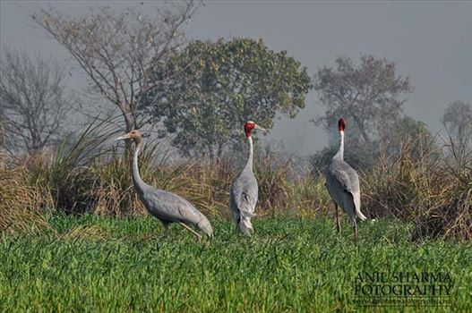Birds- Sarus Crane (Grus Antigone) - A Sarus Crane family, Grus Antigone (Linnaeus) in an agricultural field at Dhanauri wetland, Greater Noida, Uttar Pradesh, India.