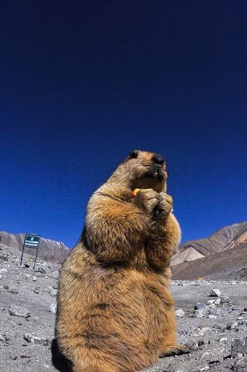 A young Himalayan Marmots holding crack jack biscuit with both hands at Leh, Jammu and Kashmir, India.