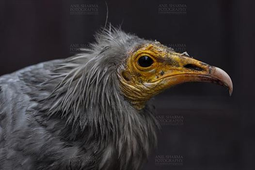 Egyptian vulture, Aligarh, Uttar Pradesh, India- January 21, 2017: Close-up of an adult Egyptian Vulture with dark background at Aligarh, Uttar Pradesh, India.