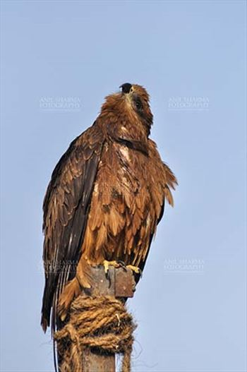 "Birds-  Black Kite Milvus migrans (Boddaert) - ""My God Lives there"" - Papa Black Kite."