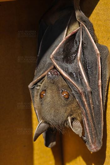 Indian Fruit Bats (Pteropus giganteus) Noida, Uttar Pradesh, India- January 19, 2017: Close-up of an Indian fruit bat,urinating, licking its urine while hanging upside down at Noida, Uttar Pradesh, India.