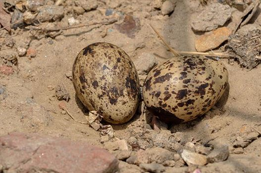 Eurasian stone curlew or stone-curlew (Burhinus oedicnemus) at Noida, Uttar Pradesh, India- June 18, 2017: Eurasian stone's two eggs in her nest in a field at Noida, Uttar Pradesh, India.