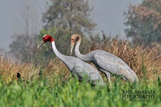Birds- Sarus Crane (Grus Antigone) - Mom  Sarus Crane, Grus Antigone (Linnaeus) with her young chick at Dhanauri wetland, Greater Noida, Uttar Pradesh, India.