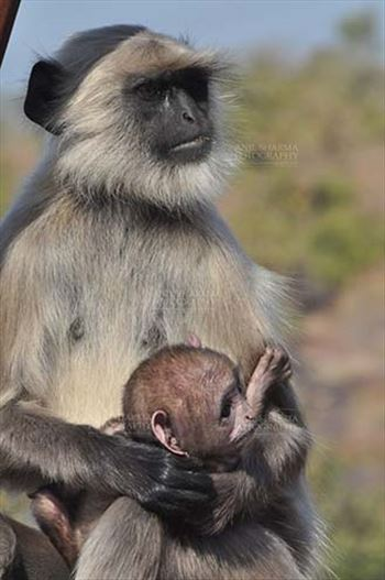 Wildlife- Gray or Common Indian Langur (India) - A suckling black footed baby Gray Langur (Semnopithecus hypoleucos) in Mom's arms at Bhopal, Madhya Pradesh, India.