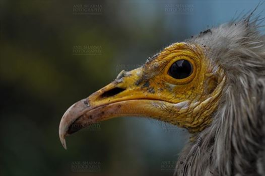 Egyptian vulture, Aligarh, Uttar Pradesh, India- January 21, 2017:   Close-up of an adult Egyptian Vulture with green background at Aligarh, Uttar Pradesh, India.