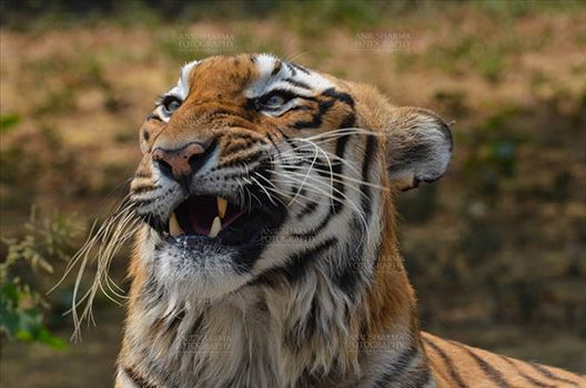 Royal Bengal Tiger, New Delhi, India- April 3, 2018: Close-up a Royal Bengal Tiger (Panthera tigris Tigris) in an angry mood at New Delhi, India.