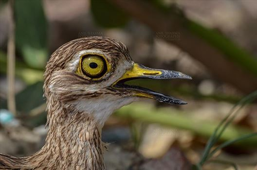 Eurasian stone curlew or stone-curlew (Burhinus oedicnemus) at Noida, Uttar Pradesh, India- June 18, 2017: Close-up of a Female Eurasian stone looking left side at Noida, Uttar Pradesh, India.