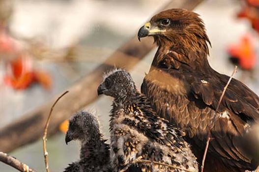 Birds-  Black Kite Milvus migrans (Boddaert) - Our World is Beautiful Mom !!!!
