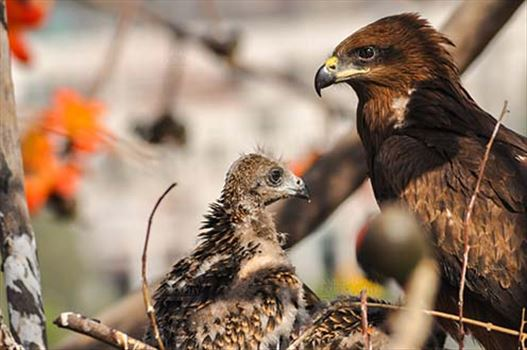 Birds-  Black Kite Milvus migrans (Boddaert) - Listening to Mom's Advice.