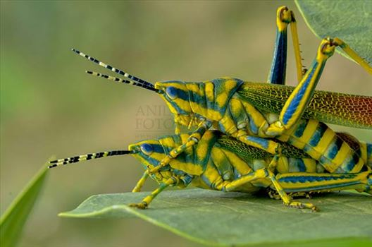 Insects- Indian Painted Grasshopper - The Poekilocerus pictus is a large brightly colored grasshopper from India, feeds on the poisonous plant Calotropis gigante or Giant Milkweed.