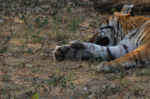 Royal Bengal Tiger, New Delhi, India- April 2, 2018: A sleeping Royal Bengal Tiger's (Panthera tigris Tigris) paw at New Delhi, India.