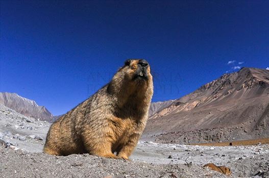 Wildlife- The Himalayan Marmots, J & K (India) - The Himalayan Marmots (Marmota Himalayan) are large ground squirrels with dark chocolate-brown coat belonging to the Rodent family.