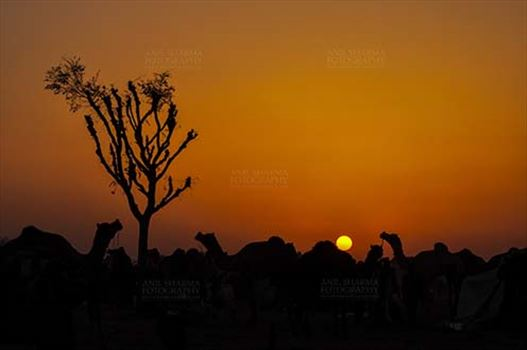 Nagaur, Rajasthan, India- Febuary 10, 2011: Sunset time, silhouette of camels in the evening at Nagaur cattle fair, Nagaur, Rajasthan (India).