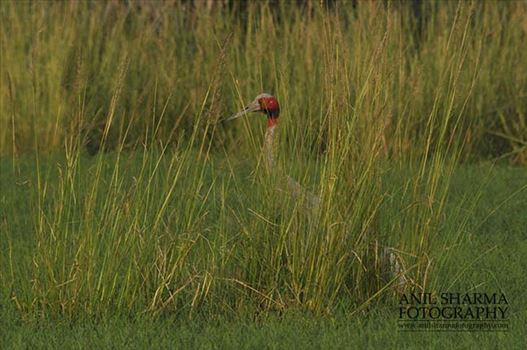 Birds- Sarus Crane (Grus Antigone) - Male Sarus Crane, Grus Antigone (Linnaeus) guarding nest at Greater Noida, Uttar Pradesh, India.