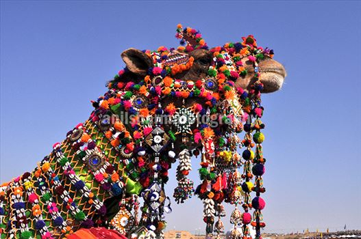 Festivals- Jaisalmer Desert Festival, Rajasthan - Decorated camel for best decorated camel competition at jaisalmer desert fair.